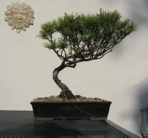 Black Pine 2013