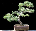 Japanese White Pine end summer 2015